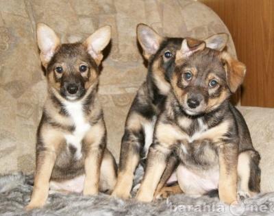 Собаки и щенки в Томске - Томск .  Отдам даром