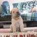 Продам щенки шарпея